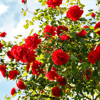 rose hill roses